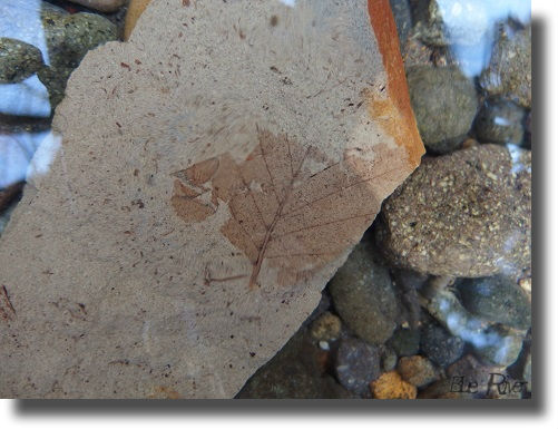 魚釣りで見つけた葉の化石