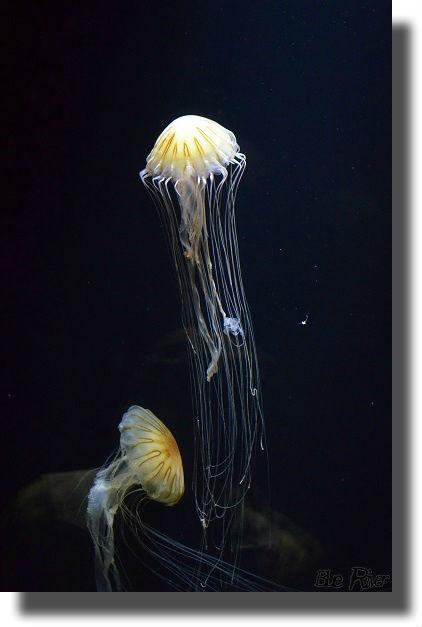 触手が長いクラゲ