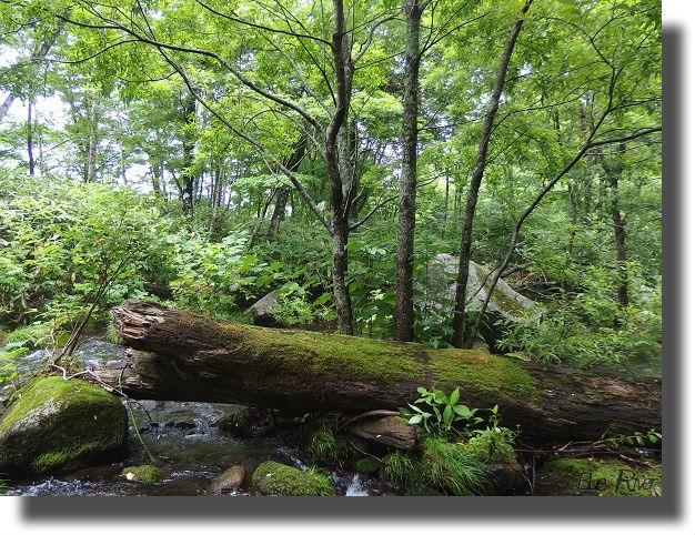 渓流の中の苔むした倒木