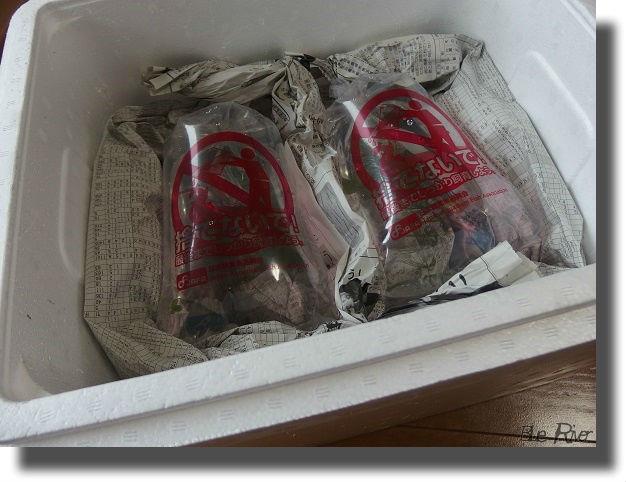 発砲スチロールの箱に梱包されたメダカ