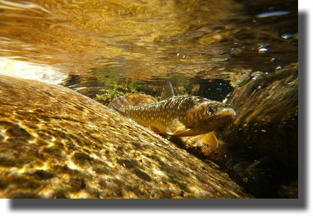 水中で身を隠すイワナ
