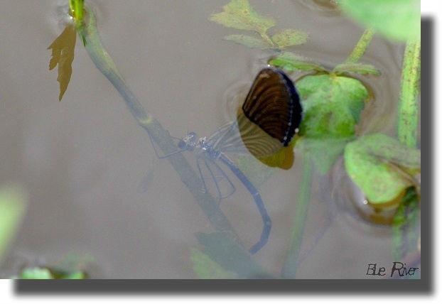水中で産卵しているハグロトンボ