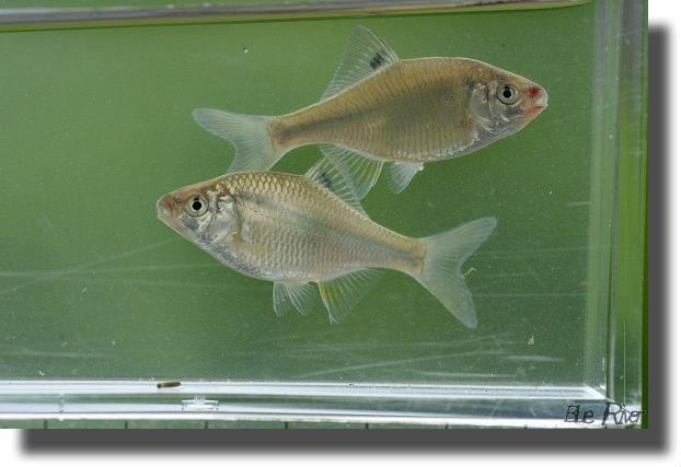 観察ケースに入ている二匹のカネヒラの稚魚