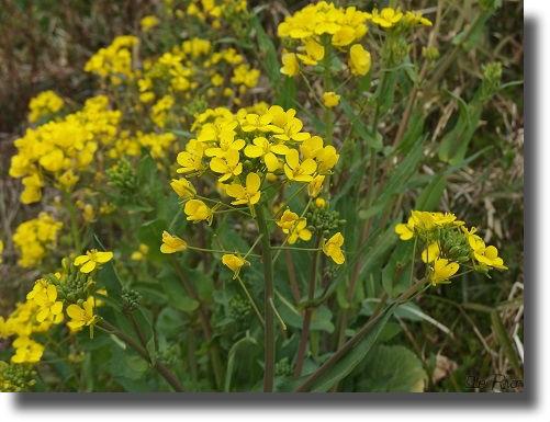土手に咲く菜の花