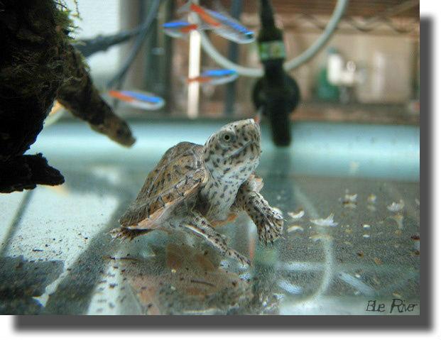 ネオンテトラと水槽の中を泳ぐオオアタマヒメニオイガメの子