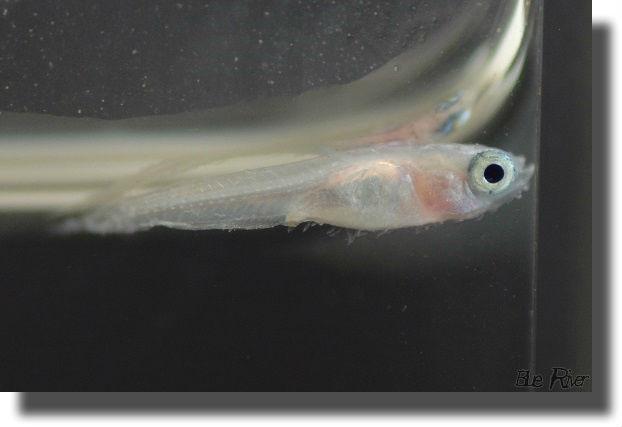 痩せ病にかかったメダカの幼魚