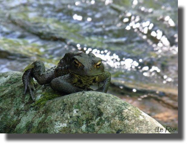 岩の上のヒキガエル