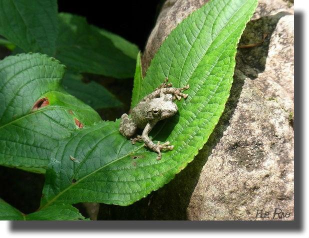 葉の上に座るカジカガエル