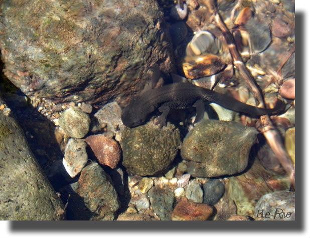 清流の中を歩くアカハライモリ