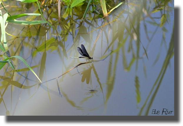 水辺の植物にとまるハグロトンボ