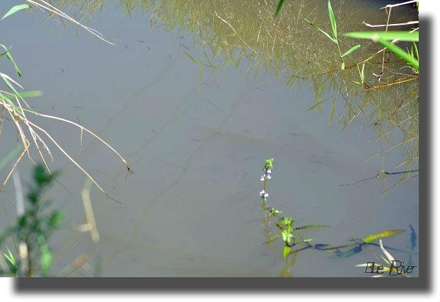 水面に群れるタナゴ