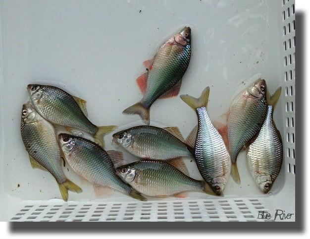 容器の中に横たわる釣り上げたカネヒラ