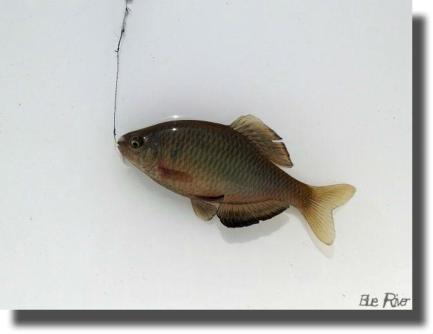 釣り上げたきれいなアブラボテ