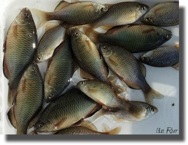 たくさん横たわる釣り上げたアブラボテ