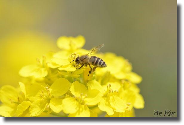 菜の花にとまったミツバチ