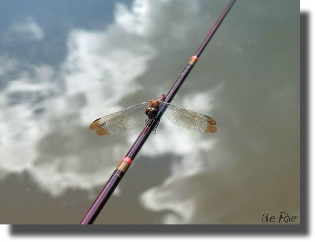 釣り竿の上にとまったクルマトンボ