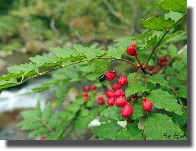 赤く色づいた山椒の実