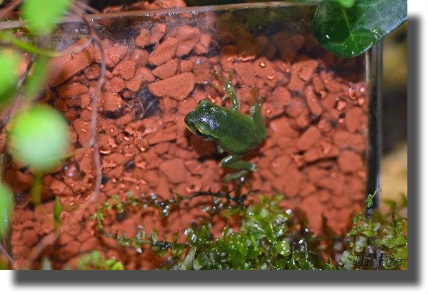 ガラス面に張り付いた小さなモリアオガエル
