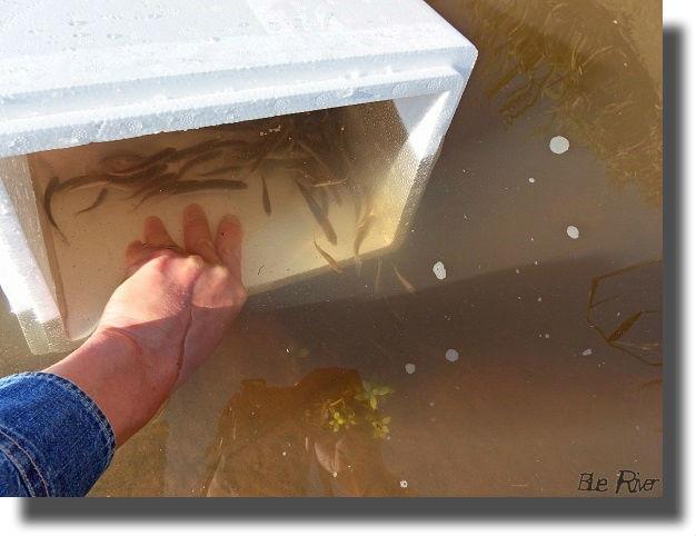 発泡容器から小川に放たれるタナゴ
