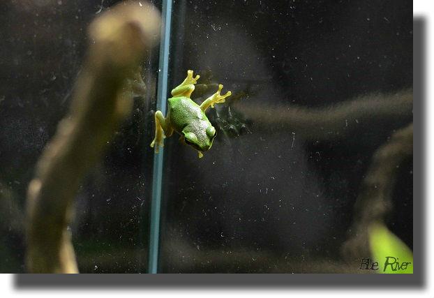 水槽の側面に張り付く小さなモリアオガエル