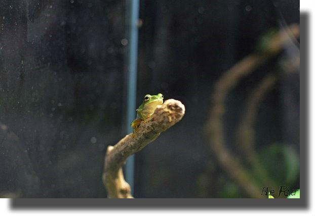 木の枝にのった小さなモリアオガエル