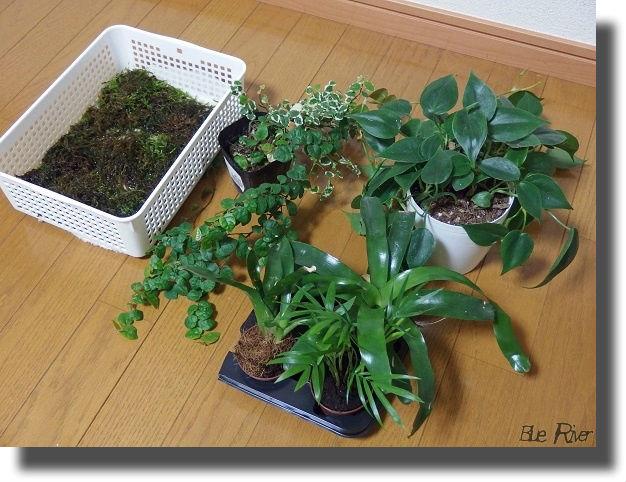 ビバリウムレイアウト植物