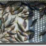 白鳥が飛来する季節のタナゴ釣り
