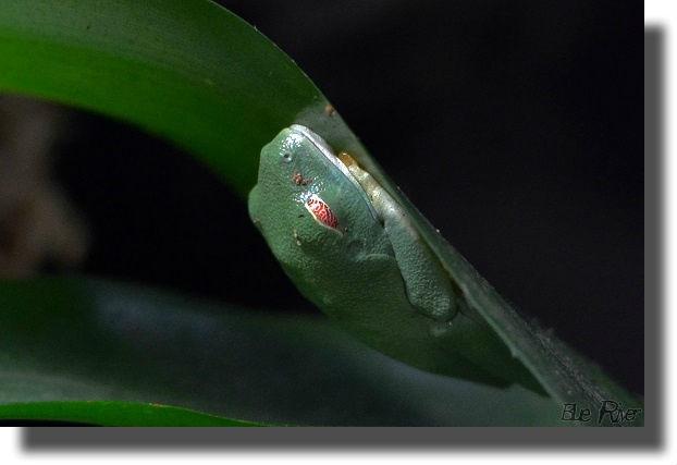 葉の裏で寝るアカメアマガエル