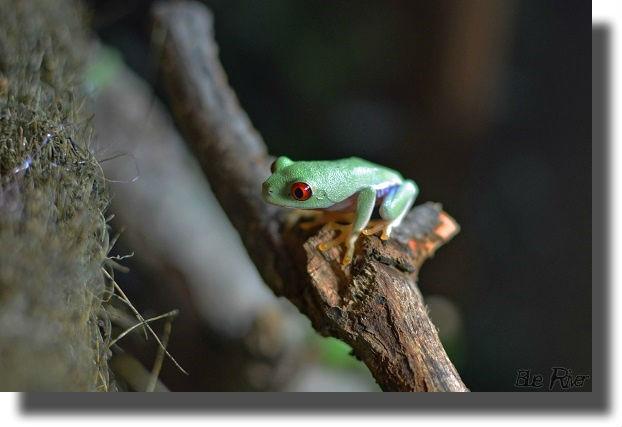 枝の上のアカメアマガエル