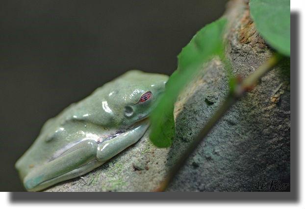 木の上で寝るアカメアマガエル