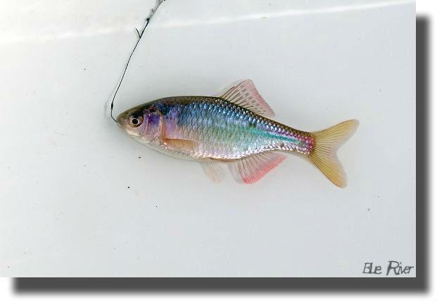釣り針が付いたアカヒレタビラのオス