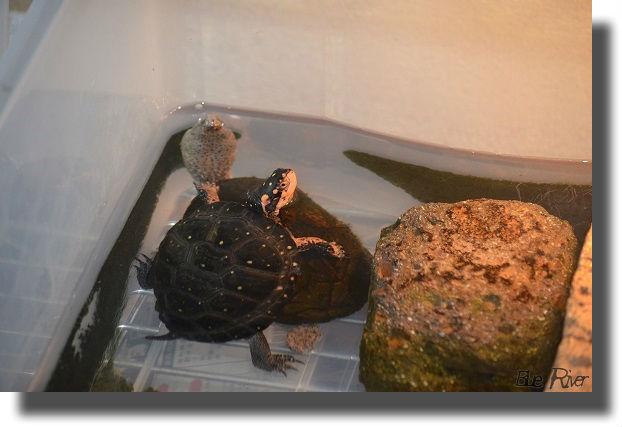 キボシイシガメとオオアタマヒメニオイガメ