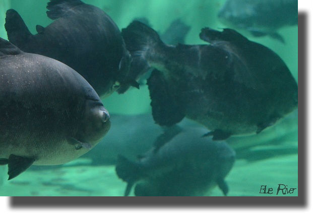 水槽の中を群泳するコロソマ