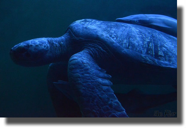 夜の水槽を泳ぐウミガメ