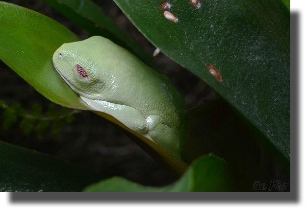 ブロメリアの上で昼寝するアカメアマガエル