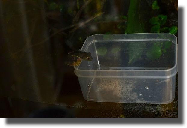 餌箱を覗き込むアカメアマガエル