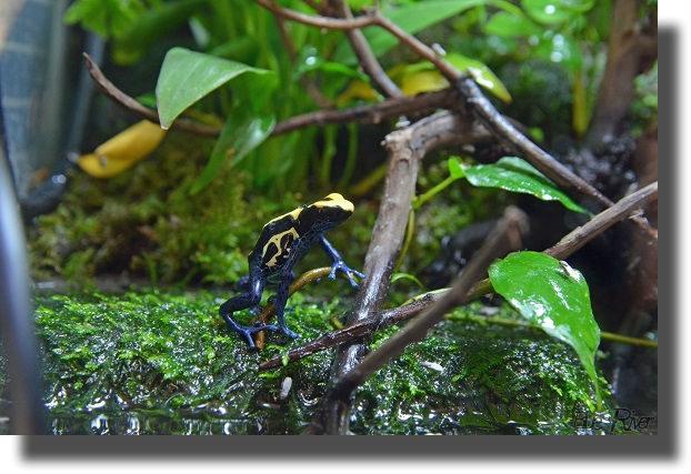 二本足で立つアイゾメガエル