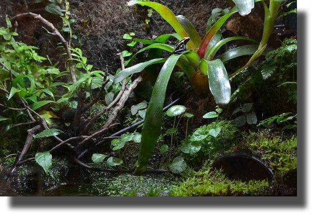 ブロメリアの上に座るヤドクガエル