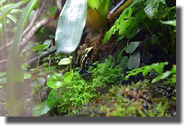 コケの上に座るアイゾメヤドクガエル