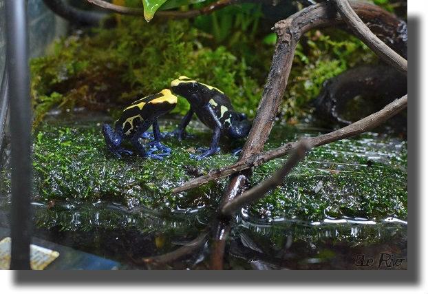 アイゾメヤドクガエルのペア
