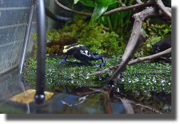 餌を探すアイゾメヤドクガエル