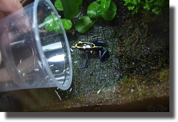 餌を食べるアイゾメヤドクガエル
