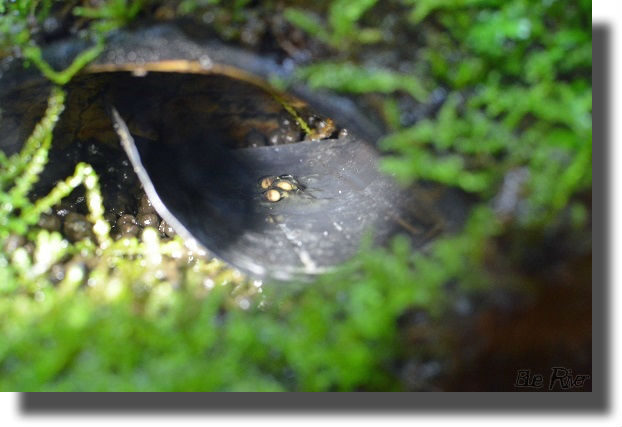 アイゾメヤドクガエルの卵