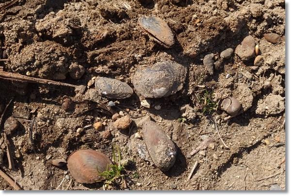 陸上に投げ出された二枚貝