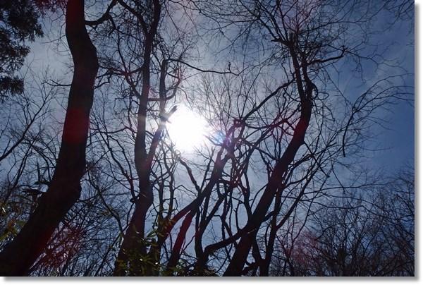 冬木の間に見える太陽