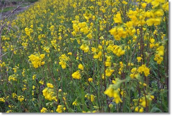 土手一面に咲く菜の花