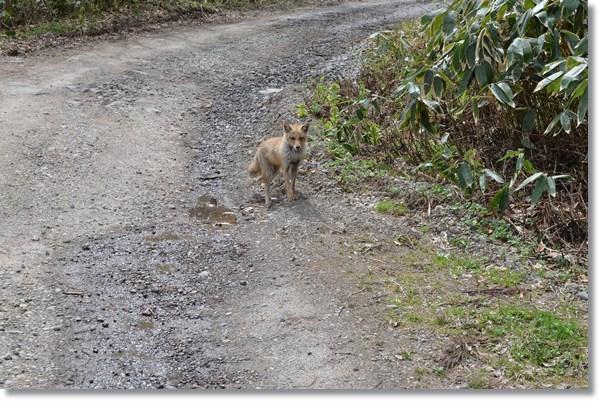 林道に現れこちらを見つめるキツネ