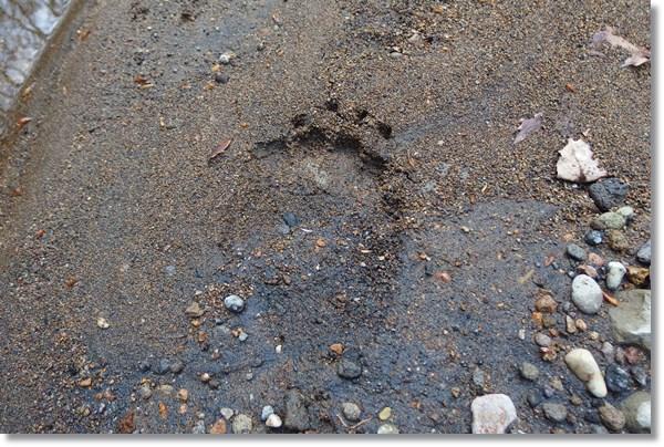ツキノワグマの足跡