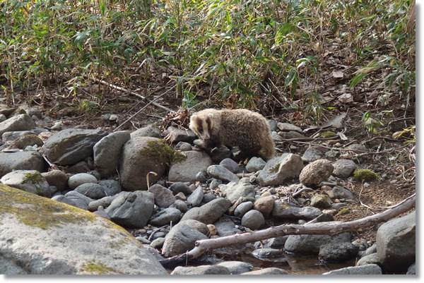 河原に現れたアナグマ