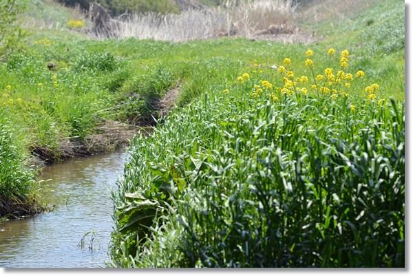 菜の花が咲く春の小川